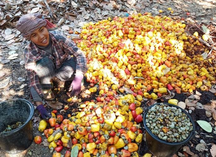 カシューナッツの収穫